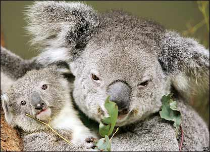 Koala2.jpg animales y mascotas