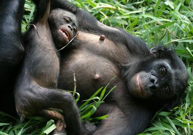Bonobo3.jpg animales y mascotas