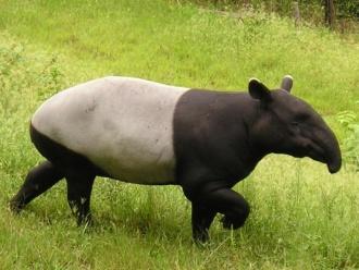 Tapir.jpg Tapir Tapir 330px Tapir