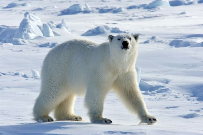 Polarbear44.jpg Oso polar Oso polar 700px Polarbear44