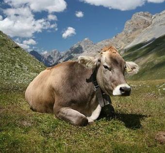 Vaca.jpg Vaca Vaca 340px Vaca