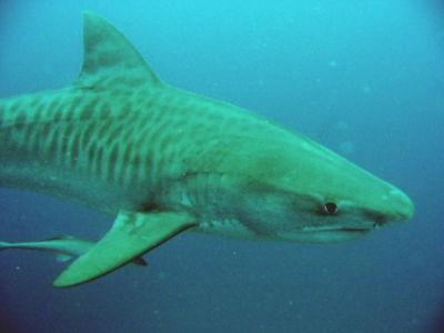 Tigershark.jpg Tiburón tigre Tiburón tigre 400px Tigershark