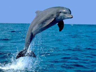 Delfin.jpg  Delfín 340px Delfin