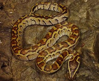 Pythonsebae.jpg Python sebae Python sebae 330px Pythonsebae