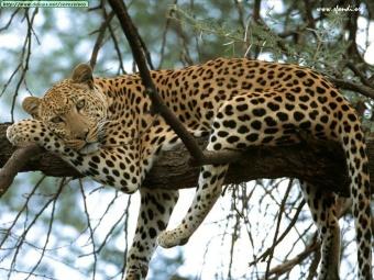 LEOPARDO.jpg  Leopardo 340px LEOPARDO