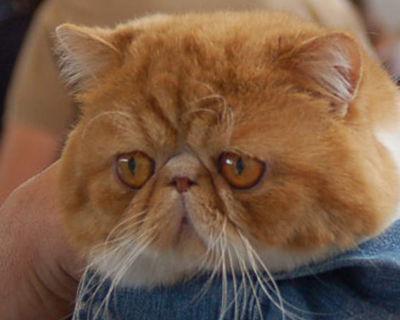 Exotico3.jpg Gato Exótico Gato Exótico 400px Exotico3