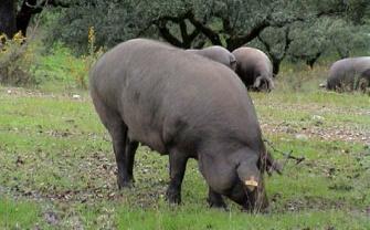 Cerdo.jpg Cerdo Cerdo 335px Cerdo