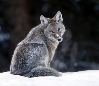 Coyote.jpg animales y mascotas