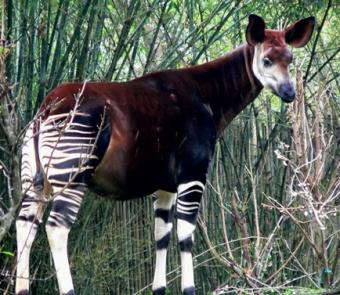 Okapi.jpg animales y mascotas