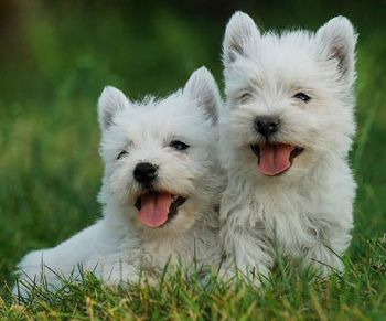 WestHighland.jpg West Highland White Terriers West Highland White Terriers 350px WestHighland