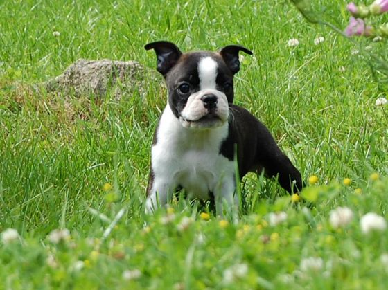Bostonplaying.jpg Boston terrier Boston terrier 560px Bostonplaying