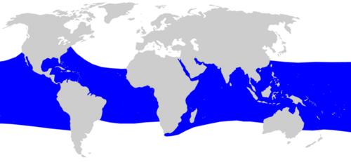 Disttibballena.png Tiburón ballena Tiburón ballena 500px Disttibballena