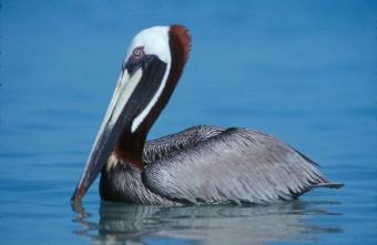 Pelicano.jpg Pelícano Pelícano 340px Pelicano
