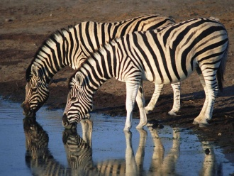 Zebra.jpg Cebra Cebra 330px Zebra