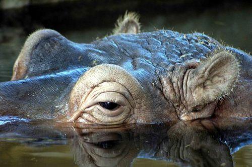 Hipopotamo.jpg Hipopótamo  Hipopótamo  500px Hipopotamo