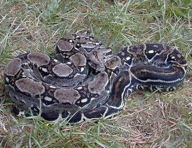 Boaoccidentaliss.jpg Boa constrictor Boa constrictor 380px Boaoccidentaliss