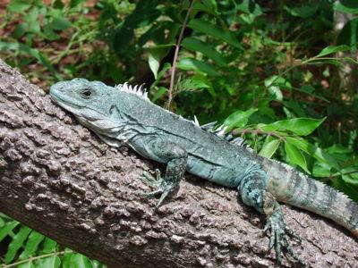 Iguana Iguana 400px Iguana1