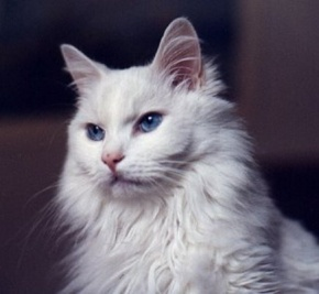 Raza de gato. Angora, el gato fiel e inteligente.