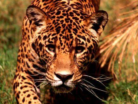 Leopardo2.jpg animales y mascotas