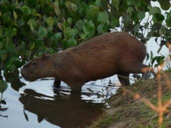 Capibara.jpg  Capibara 340px Capibara