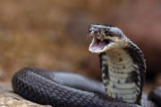 Serpiente Serpiente 180px Cobra
