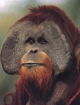 Orangutan2.jpg Orangután Orangután 280px Orangutan2