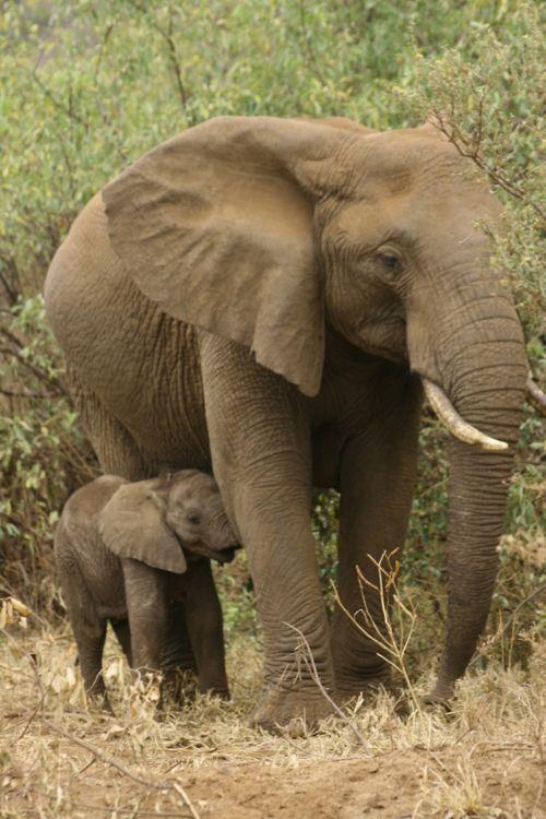 Elefante Elefante 500px Elefante2