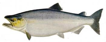 Salmon2.jpg Salmón Salmón 350px Salmon2
