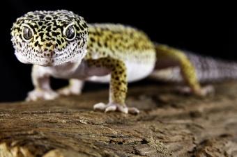 Geckoleopardo.jpg Geckos Leopardo Geckos Leopardo 340px Geckoleopardo