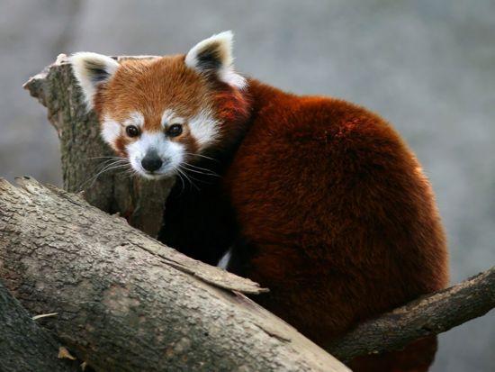 Pandarojo.jpg Oso panda Oso panda 550px Pandarojo