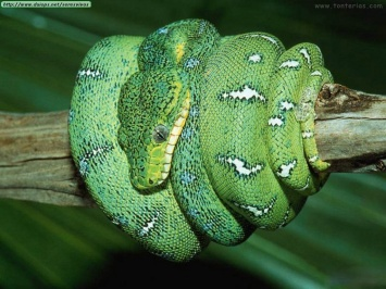 Serpienteverde.jpg Serpiente Serpiente 355px Serpienteverde