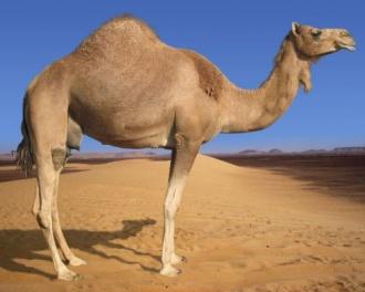 Camel.jpg Camello Camello 330px Camel