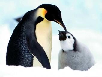 Pinguino.jpg Pingüino Pingüino 340px Pinguino