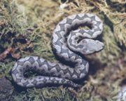 Serpiente Serpiente 180px Vivora1