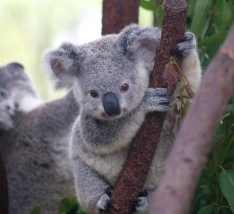 Koala1.jpg Koala Koala 340px Koala1