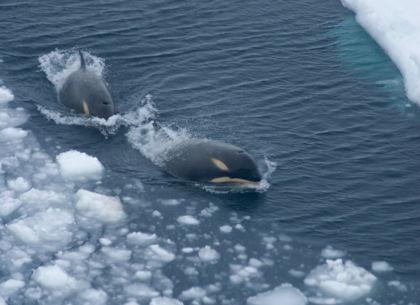 Orca Orca 420px Orca2