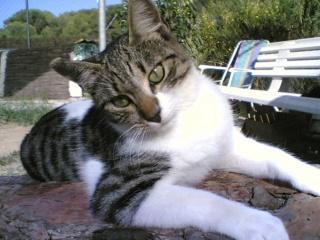 Raza de gato. Gato Común, la raza familiar