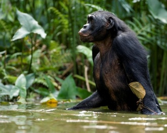 Bonobo.jpg animales y mascotas