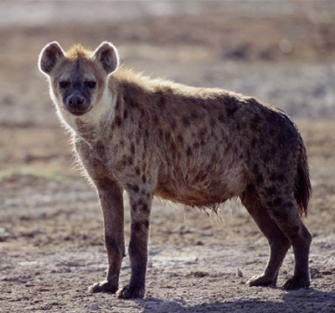 Hiena.jpg animales y mascotas