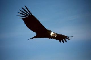 Condor.jpg Cóndor Cóndor 320px Condor