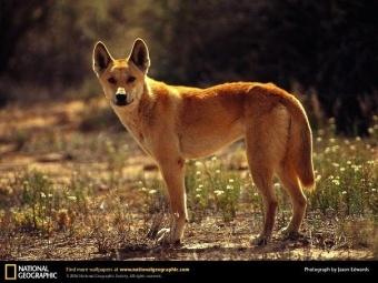 Dingo2.jpg Dingo Dingo 340px Dingo2