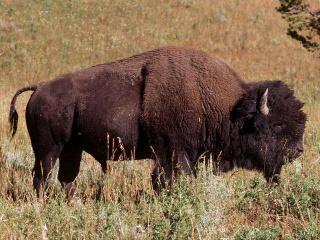 Bisonte.jpg Bisonte Bisonte 320px Bisonte