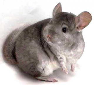 Chinchilla.jpg Chinchilla Chinchilla 320px Chinchilla