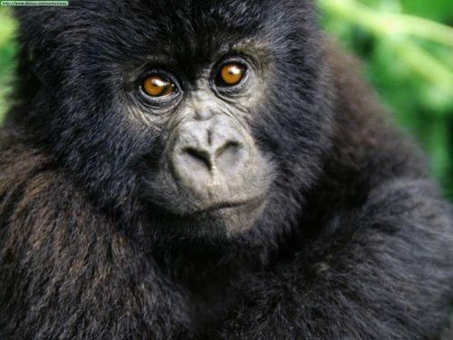 Gorila Gorila 500px Gorilla2