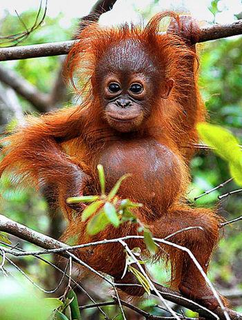 Q Es Un Orangutan Orangucria jpg  focus keyword