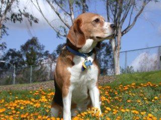Beagle perro Beagle Beagle Beagle