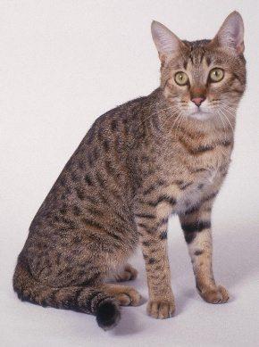 California Spangled cat gato California Spangled cat  California Spangled cat  California Spangled cat