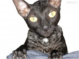 Cornish Rex gato Cornish Rex  Cornish Rex  Cornish Rex