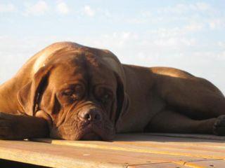 Dogo burdeos perro Dogo Burdeos Dogo Burdeos Dogoburdeos1