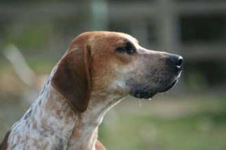 English Fox hound perro Foxhound Inglés Foxhound Inglés EnglishFoxhound